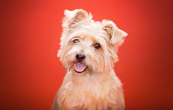 Картинка язык, взгляд, фон, собака, Йоркширский терьер