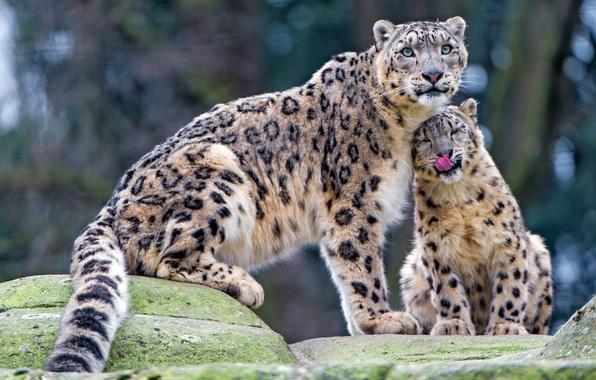 Картинка язык, взгляд, кошки, камни, котенок, нежность, малыш, ласка, снежный барс, дикие кошки, забота, детеныш, зоопарк, ...