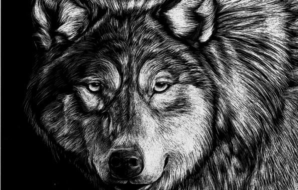 Картинка Рисунок, Взгляд, Волк, Морда, Животные