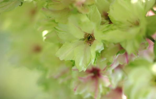 Картинка макро, нежность, Цветы, весна, размытость, сакура, салатовый, зеленая, цветение