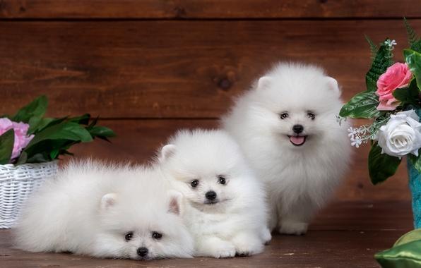 Картинка белый, цветы, пушистый, милый, щенок, трио, забавные, шпиц