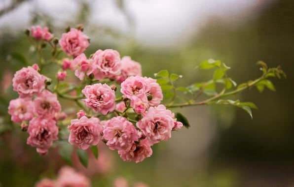 Картинка цветы, природа, куст, розы, ветка, розовые
