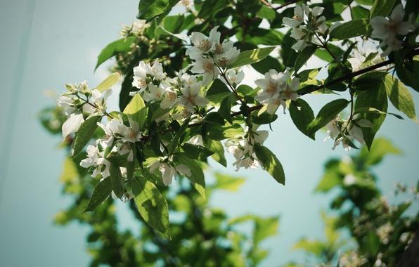 Картинка лето, листья, цветы, ветки, природа, дерево, лепестки, nature, flowers, жасмин
