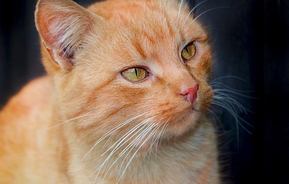 Картинка глаза, кот, усы, взгляд, животное, рыжий, мордочка, уши