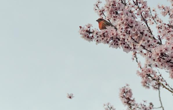 Картинка цветы, ветки, вишня, дерево, Сакура, птичка