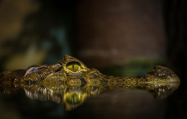Картинка морда, вода, глаз, пруд, крокодил