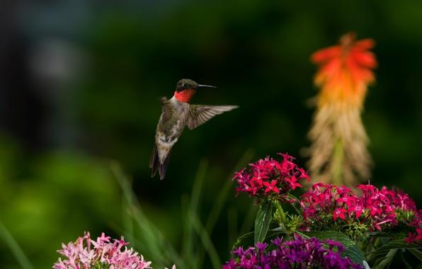 Картинка цветы, природа, птица, колибри, птичка