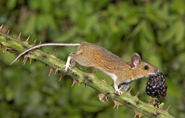 Картинка природа, ветка, мышь, ягода, шипы, ежевика