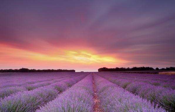 Картинка поле, небо, солнце, закат, цветы, лаванда