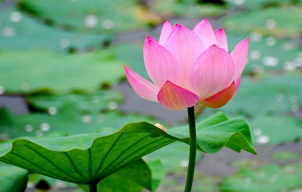 Картинка цветок, вода, макро, лист, пруд, лотос