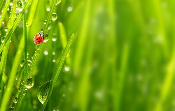 Картинка трава, капли, макро, природа, роса, божья коровка, утро, nature, macro, morning, ladybug, the grass, the …