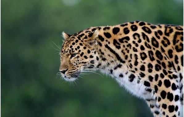 Картинка хищник, леопард, дикая кошка