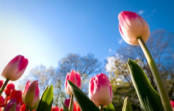 Картинка небо, листья, солнце, тюльпаны, бутоны, ракурс, урупным планом