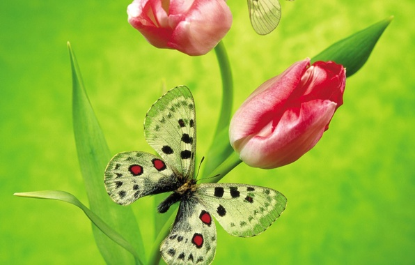 Фото обои цветы, зеленый, бабочка, тюльпан