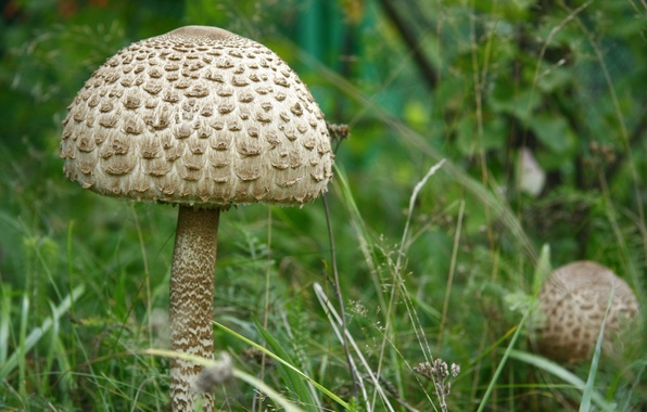 Картинка трава, макро, природа, зонтик, грибы, гриб, растение