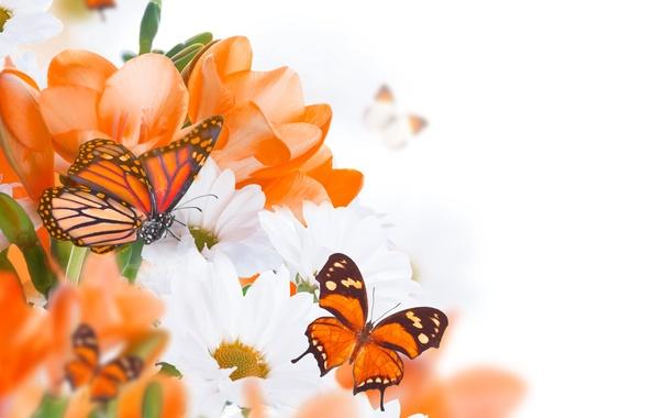 Картинка бабочки, цветы, бутоны, веточки, белые хризантемы, оранжевые цветочки