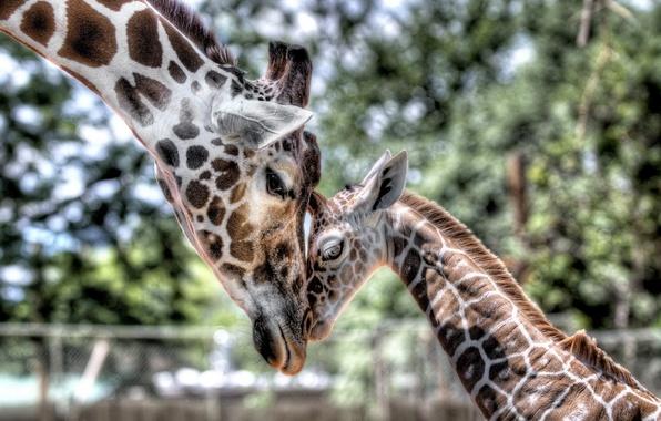 Картинка нежность, малыш, жираф, детеныш, мама