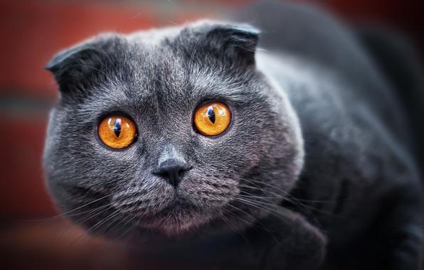Картинка кот, взгляд, серый, вислоухий, пепельный