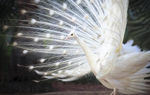 Картинка птица, перья, хвост, белый индийский павлин