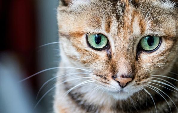Картинка кошка, кот, взгляд, портрет, мордочка