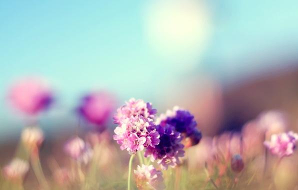 Картинка поле, лето, цветы, фокус, розовые, солнечно, полевые