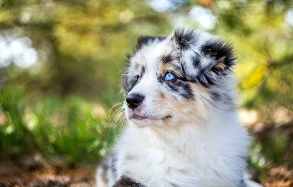 Картинка морда, портрет, собака, щенок, Австралийская овчарка, Аусси