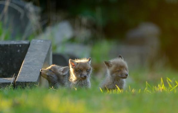 Картинка лисы, малыши, трио, детёныши, лисята