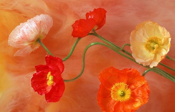 Картинка цвета, цветы, краски, рисунок, маки, лепестки, стебель, яркость, серединки