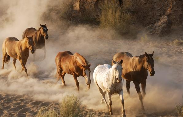 Картинка животные, фото, кони, пыль, лошади, дикая природа, стадо, табун