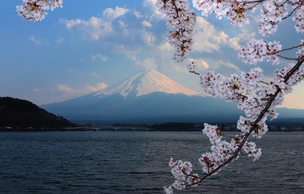 Картинка фон, гора, сакура, цветение, Fuji