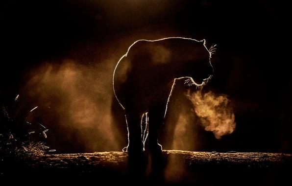 Картинка кошка, пыль, большая, леопард, пар, африканский