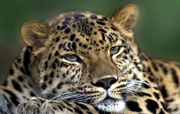 Картинка кошка, глаза, усы, морда, животное, лапа, хищник, голова, шерсть, леопард, шкура, окрас, зверь, уши, меж, …