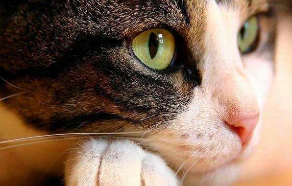 Картинка кошка, глаза, кот, морда, макро, животное, лапа, нос, зеленые, лежа