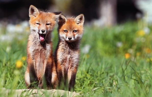 Картинка утро, лисы, двое, лисички, мы проснулись