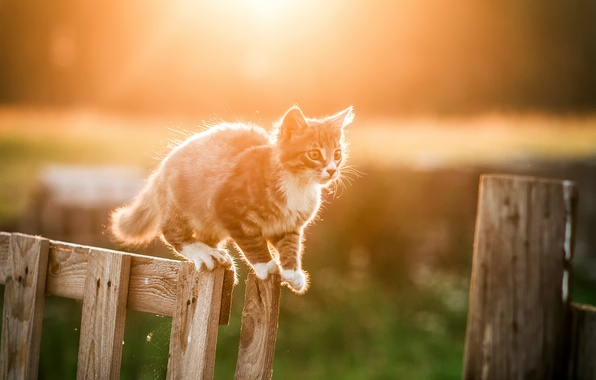 Картинка белый, солнце, свет, природа, котенок, серый, забор, Кошка, боке
