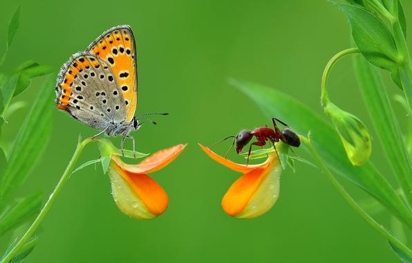 Картинка трава, макро, бабочка, насекомое, муровей