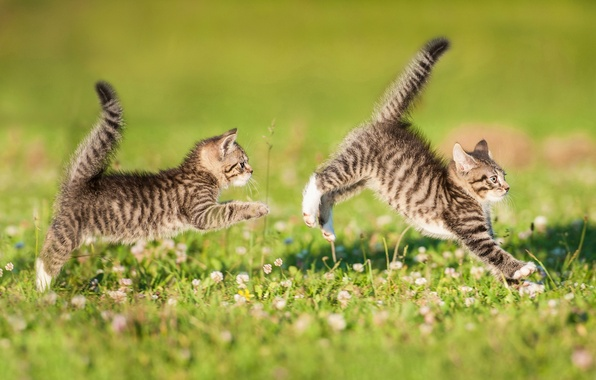 Картинка игра, котята, парочка, лужайка, двойняшки, хвостики, догонялки