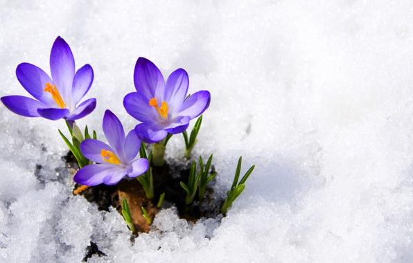 Картинка фиолетовый, макро, снег, цветы, весна, крокусы, бутоны, flowers, первоцвет, snow, macro, spring, violet, primrose, сrocus
