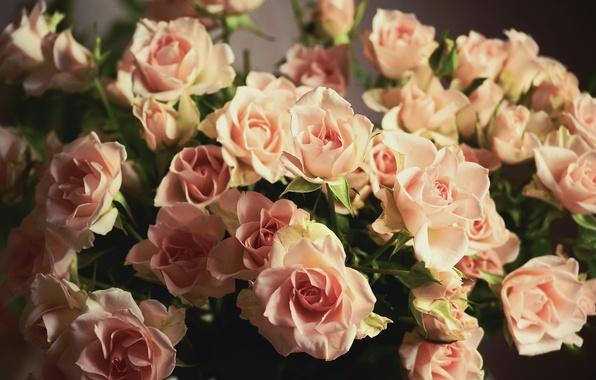 Картинка цветы, розы, букет, лепестки, розовые, бутоны