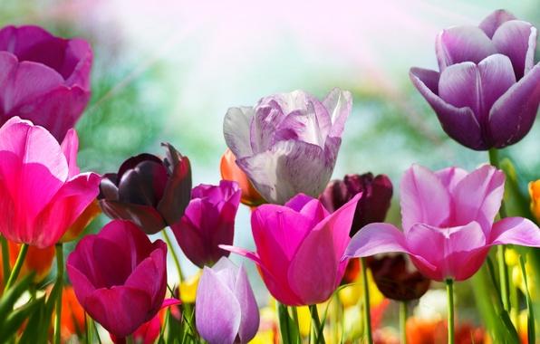Картинка цветок, цвета, цветы, природа, тюльпан, весна, лепестки, тюльпаны