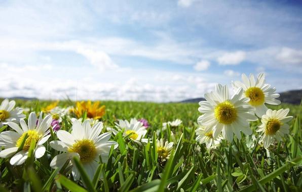 Картинка поле, небо, солнце, лучи, свет, цветы, природа, ромашки, растения, травка
