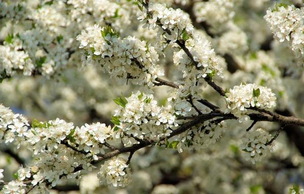 Картинка макро, вишня, ветви, весна, лепестки, красиво, солнечно, цветение, нежно, расцвет, пышно, роскошно