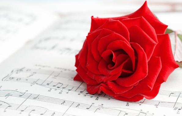 Картинка макро, цветы, ноты, фон, widescreen, обои, настроения, роза, лепестки, music, wallpaper, red, rose, цветочки, красная, …