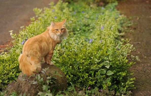 Картинка трава, кот, цветы, камень, рыжий