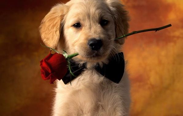 Картинка взгляд, роза, собака