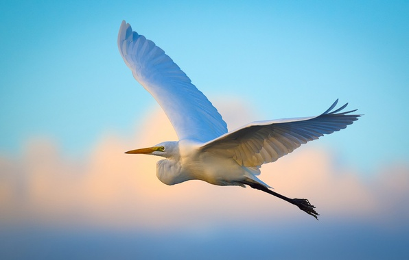 Картинка flying, wings, egret