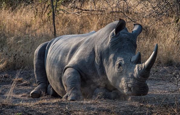 Фото обои носорог, фон, природа