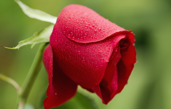 Картинка цветок, вода, капли, роса, роза, лепестки, бутон