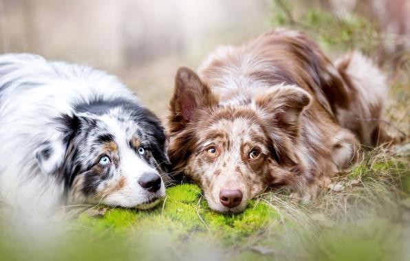 Картинка собаки, парочка, две собаки