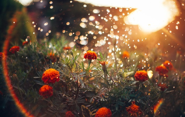 Картинка солнце, свет, цветы, блики